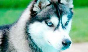Как назвать собаку или щенка хаски? Клички и имена для собак породы сибирский хаски.