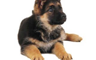 Цена щенка немецкой овчарки – сколько стоит щенок в рублях, долларах, как выбрать.