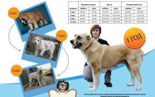 Фото щенков Алабая с 1 по 12 месяц: вес и рост по месяцам