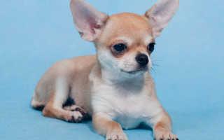Как назвать чихуахуа? Список кличек и имен для собак и щенков породы чихуахуа.
