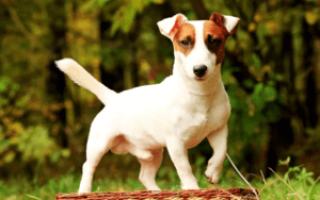 Фото щенков джек-рассел-терьера с рождения до года — вес и рост по месяцам.