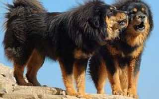 Фото и развитие щенков тибетского мастифа в 1-9 месяц.