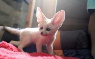 Домашняя лиса Фенек: фото, цена и описание пустынной лисицы.