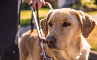 Собаки-поводыри для слепых – обучение, породы, навыки и их преимущества.