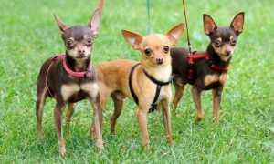 Клички и имена для собак мальчиков той терьеров – красивые и прикольные клички для той терьеров.