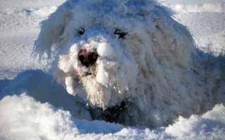 Обморожение и переохлаждение у собак: симптомы и первая помощ. Обморожение ушей, лап и хвоста