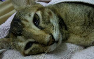 Обезвоживание у кошек – симптомы, причины и лечение