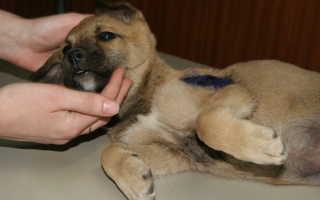 Первая помощь для домашних животных при отравлении, переломах и других травмах