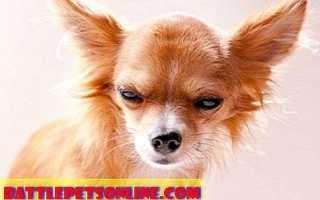 Самые упрямые породы собак. Почему некоторые собаки упрямые?