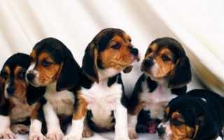 Фото щенков бигля с 1 по 12 месяц — вес и рост по месяцам до года в таблице.