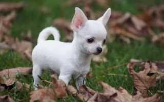 Имена и клички для собак мальчиков чихуахуа – красивые клички для щенков чихуахуа мальчиков.