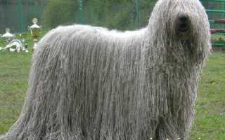 Собаки с дредами – Комондор и другие породы с фото.