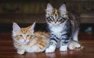 Имена и клички для кошек и котят девочек мейн-кун.