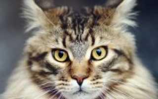 Мейн-кун: фото котов и кошек, видео и описание породы