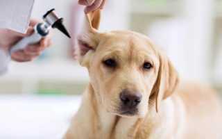 Заболевания ушей у собак: симптомы и лечение