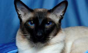 Гипоаллергенные (неаллергенные) породы кошек