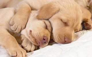 Сколько часов в сутки спят собаки. Почему собаки любят спать и почему они спят так много – длительность и фазы сна.