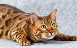 Клички для бенгальских кошек и котов – как назвать, красивые имена для котят мальчиков и девочек