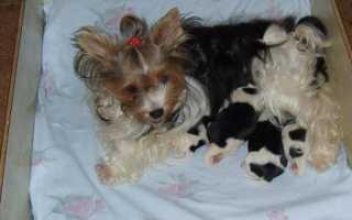 Фото щенков шарпея с 1 по 12 месяц — вес и рост по месяцам.