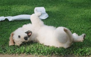 Как приучить щенка к туалету дома и на улице