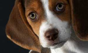 Глаукома у собак – симптомы и лечение заболевания