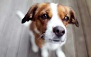Джек рассел терьер – фото, описание и характер породы. Видео, фото и цена собак Джек рассел терьеров.