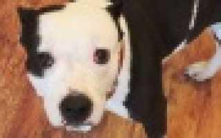 Гон у собак – 10 самых часто задаваемых вопросов