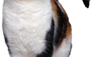 Болезни кошек, передающиеся человеку. Какие инфекции и вирусы кошек передаются человеку, инфекция токсоплазмоза.