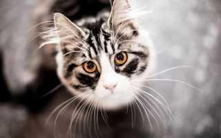 Интересные и забавные факты о кошках