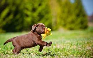 Как назвать золотистого ретривера – клички и имена для собак девочек и мальчиков.