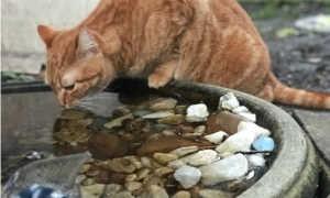 Кошки и коты, которые любят воду – породы кошек, любящих купаться.
