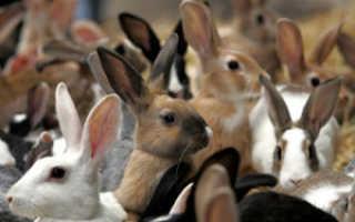 Разведение кроликов для начинающих. Разведение в домашних условиях