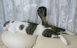 Почему кошки любят валерьянку? Можно ли давать кошкам валерьянку?