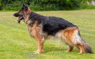Дисплазия тазобедренного сустава у собаки – симптомы, диагностика и лечение