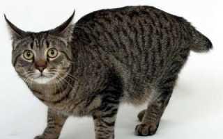 Кошка Пиксибоб – фото, описание породы и характера, видео и стоимость котят.