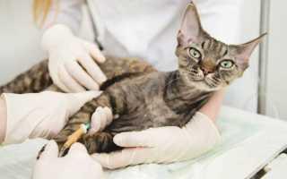 Кальцивироз у кошек – симптомы, причины и лечение