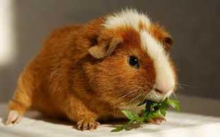 Сколько живут морские свинки в домашних условиях – продолжительность жизни и факторы.