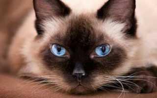 Фото сиамского котенка в 1-6 месяце — вес и рост по месяцам.