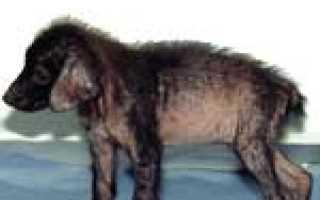 Саркоптоз у собак – симптомы и лечение. Чесоточный клещ и фото саркоптоза у собак.