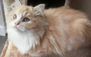 Рагамаффин – описание породы и характера кошки. Фото котят и цена кошек рагамаффин.