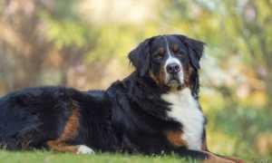 Как назвать Ньюфаундленда – список имен для собак девочек и мальчиков.