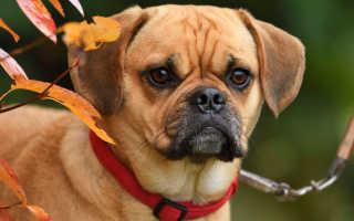 Пагль – фото, характер и описание породы. Фото, видео и цена собак паглей – смеси бигля и мопса.
