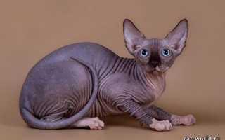Все окрасы канадских сфинксов: фото кошек с описанием, редкие окрасы