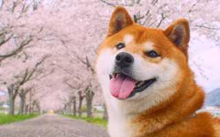 Порода собаки Хатико – Акита-ину описание и история породы из фильма