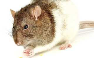 Что едят домашние грызуны? Корма и еда для грызунов