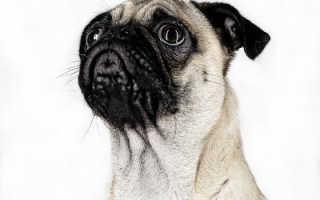 Окрасы мопсов: фото щенков и собак с описанием