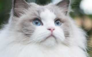 Порода кошек рэгдолл – описание, характер и здоровье