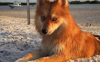 Породы собак, похожие на лис – породы лисьих собак, домашние лисицы.