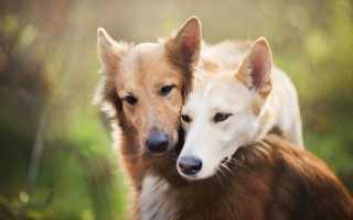 Почему собаки слипаются при спаривании? Почему собаки слипаются задними местами во время спаривания.