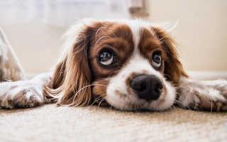 Как закапать глазные капли для собак